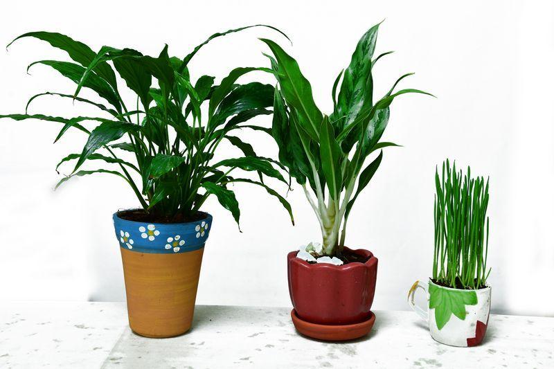 Ranakalli Plant